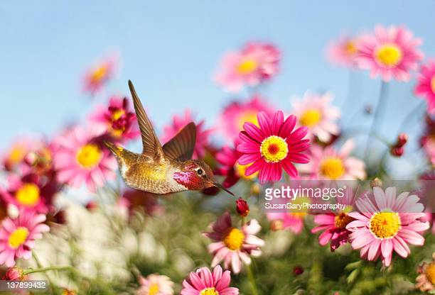 allen's hummingbird in pink daisies - hummingbird stock pictures, royalty-free photos & images