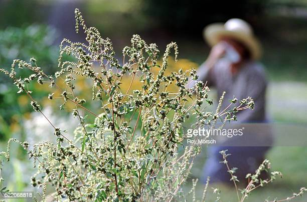 allergies caused by ragweed - allergy stock pictures, royalty-free photos & images