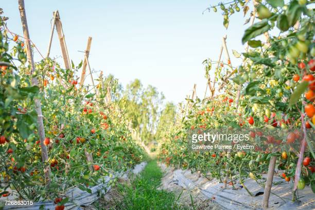 Alley Amidst Tomatoes Growing At Farm