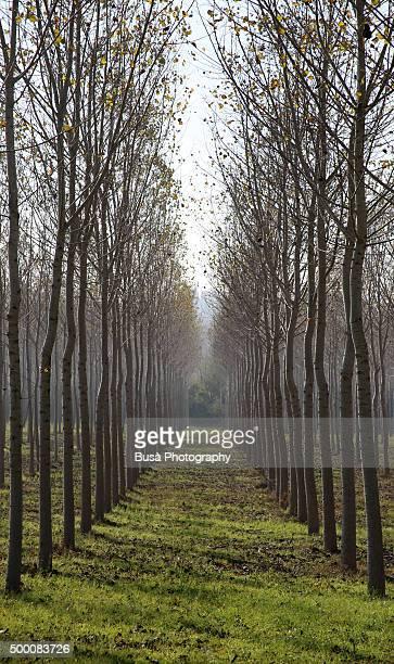 Alley of white poplar tree in Tuscany, Italy