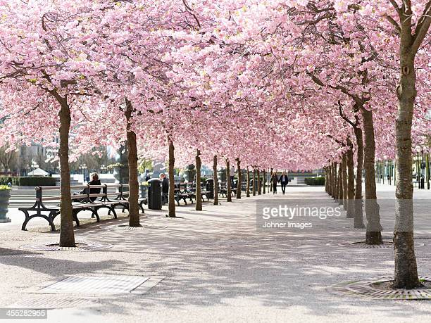 Alley treelined with cherry trees
