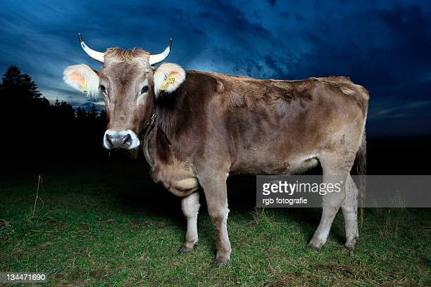Allgaeu brown cattle, cow of a domestic cattle breed (Bos taurus primigenius) on a meadow near Grossholzleute, Baden-Wuerttemberg, Germany, Europe