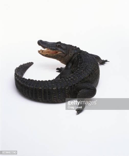 Alligator Against White Background