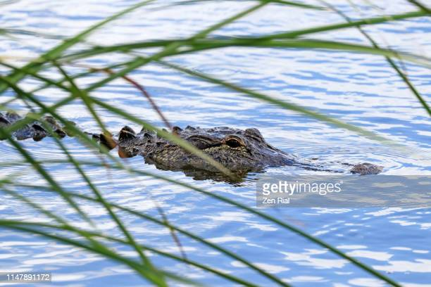 alligator - american alligator - alligator mississippiensis quietly glides on water viewed between blades of grass - salt_marsh stock pictures, royalty-free photos & images