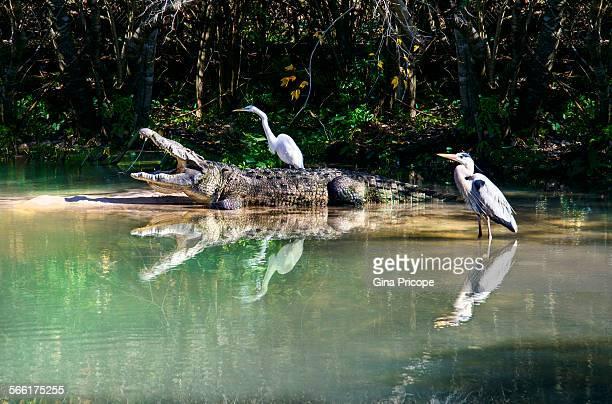Alligator and birds in symbiotic relationship