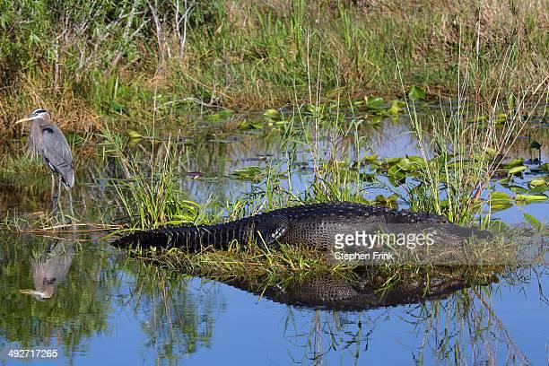 alligator and blue heron. - anhinga_trail stock-fotos und bilder