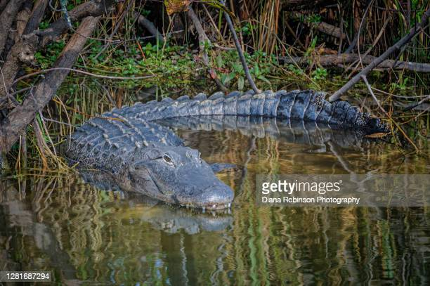 alligator and his reflection resting at the water's edge in a marsh near the anhinga trail in everglades national park, florida, usa - anhinga_trail stock pictures, royalty-free photos & images