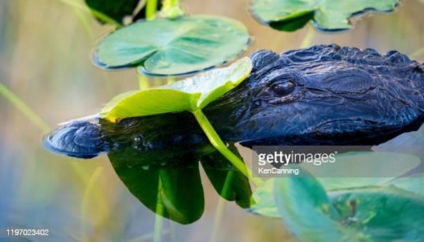 alligator und lily pads in den florida everglades - anhinga_trail stock-fotos und bilder