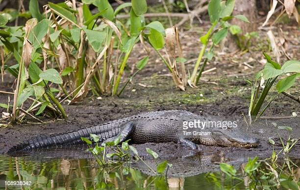 Alligator at Fakahatchee Strand Preserve State Park the Everglades Florida United States of America