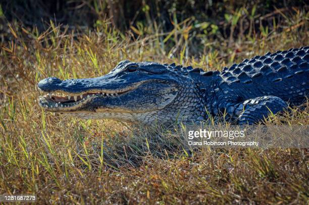 alligator baring his teeth in the grass beside the anhinga trail in everglades national park, florida, usa - anhinga_trail foto e immagini stock