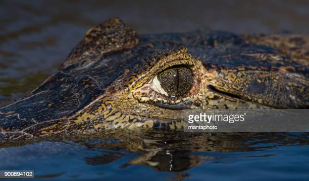 alligator , brazil - pantanal wetlands stock pictures, royalty-free photos & images