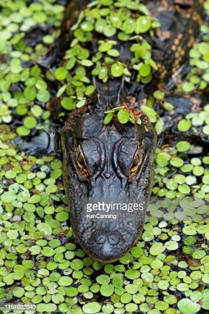 alligator nahaufnahme in entenkraut - gulf coast states stock-fotos und bilder