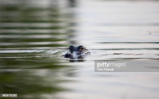 alligator emerging from water, louisiana, usa - sumpf stock-fotos und bilder