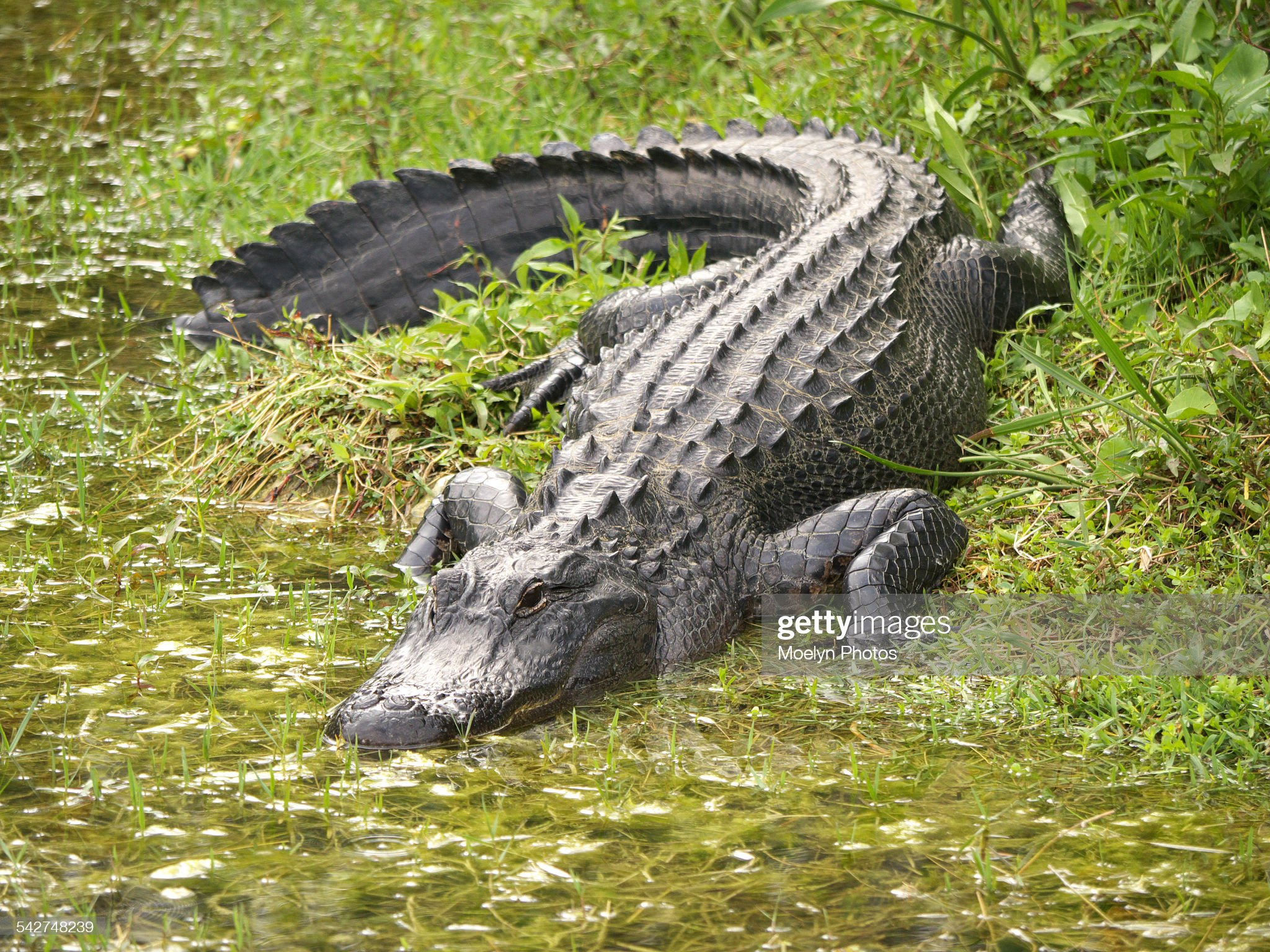 Alligator Entering the Water : Stock Photo