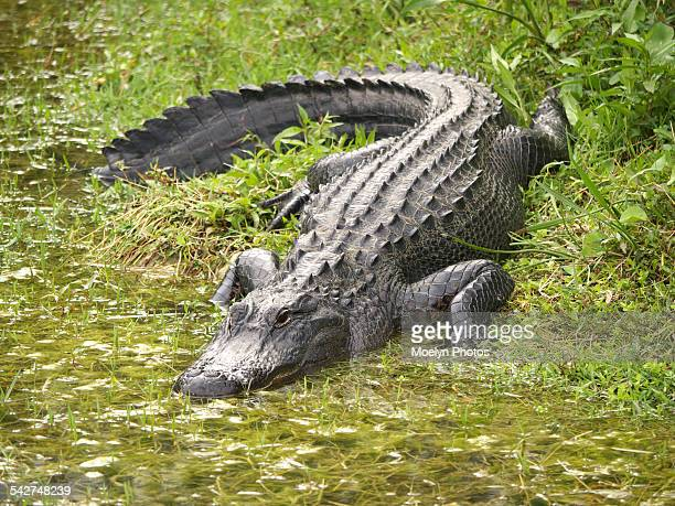 Alligator Entering the Water