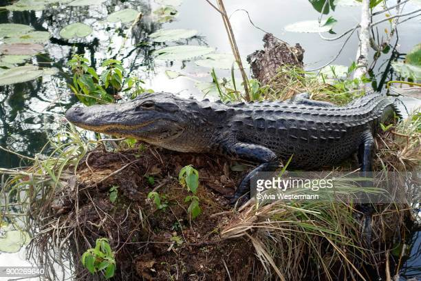 Alligator (Alligator mississippiensis), Everglades National Park, Florida, USA