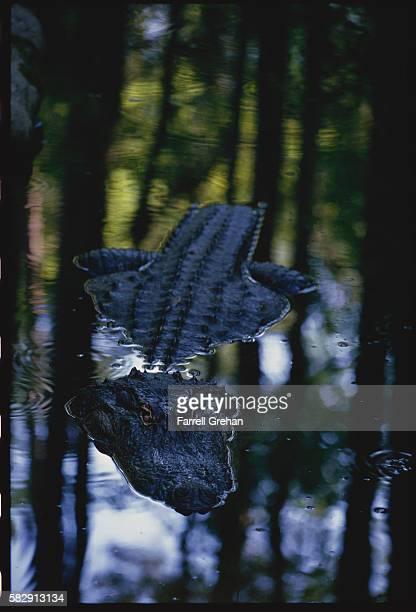 Alligator Floating