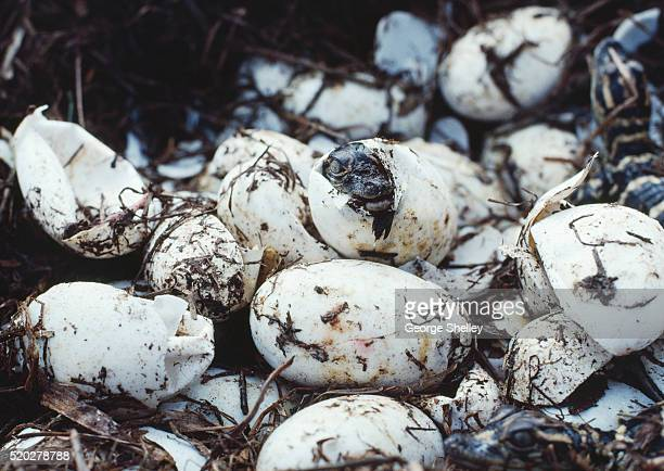 Alligator hatchling emerging from egg