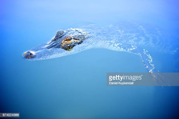 Alligator head deep in water, Florida, USA