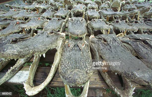 Alligator heads with glass eyes and open mouths are set out to dry June 23 2000 at the Dade City Alligator Processing Center in Florida These...