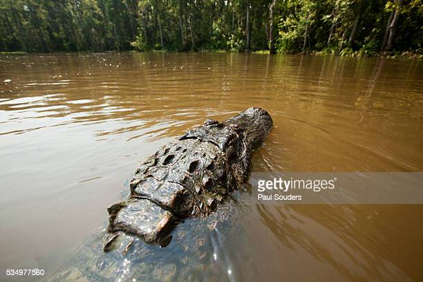 Alligator, Honey Island Swamp, Louisiana