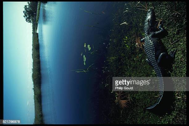 alligator in everglades national park - anhinga_trail stock pictures, royalty-free photos & images