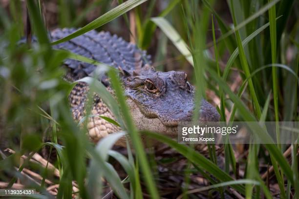 alligator in hiding - hilton head stock pictures, royalty-free photos & images