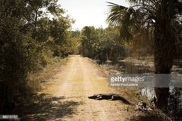 Alligator in the Road