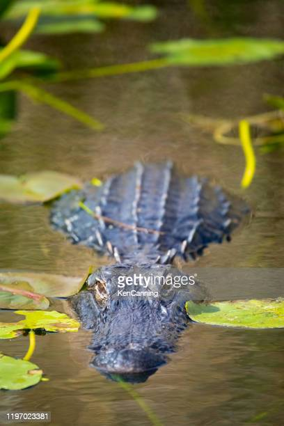 alligator lurking amongst lily pads in the florida everglades - anhinga_trail stock pictures, royalty-free photos & images