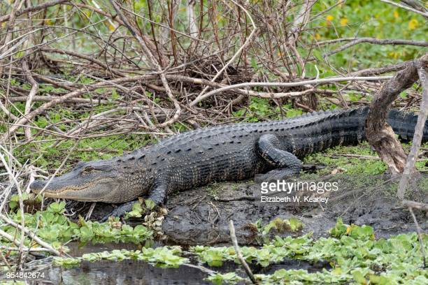 Alligator Moving Towards the Water
