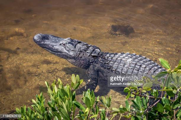 alligator near shore - florida gators stock pictures, royalty-free photos & images