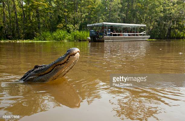 Alligator near tour boat in Honey Island Swamp