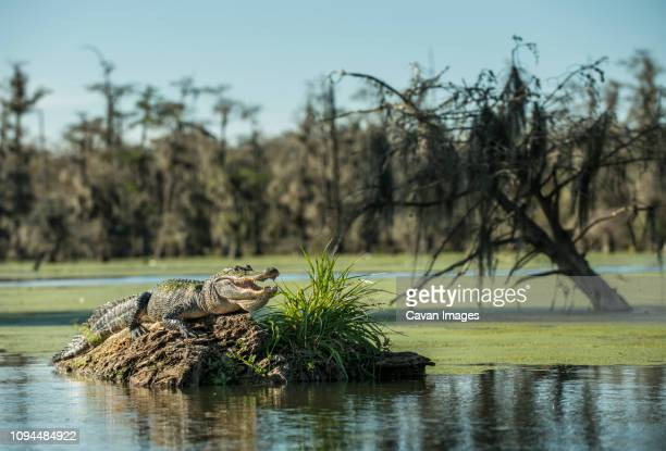 alligator on driftwood in lake martin at forest - pantano agua estancada fotografías e imágenes de stock