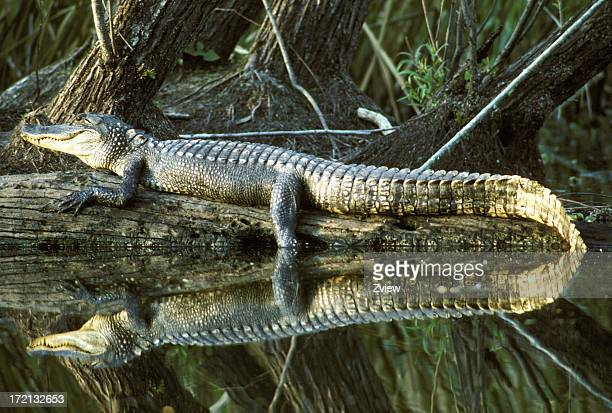 Alligator On Log With Absolutely Perfect Reflection In Water