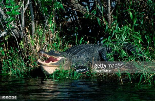 Alligator on River Edge