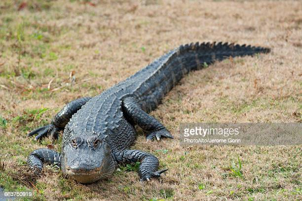 alligator - alligator stock pictures, royalty-free photos & images