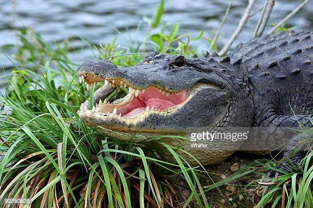 alligator - alligator stock photos and pictures