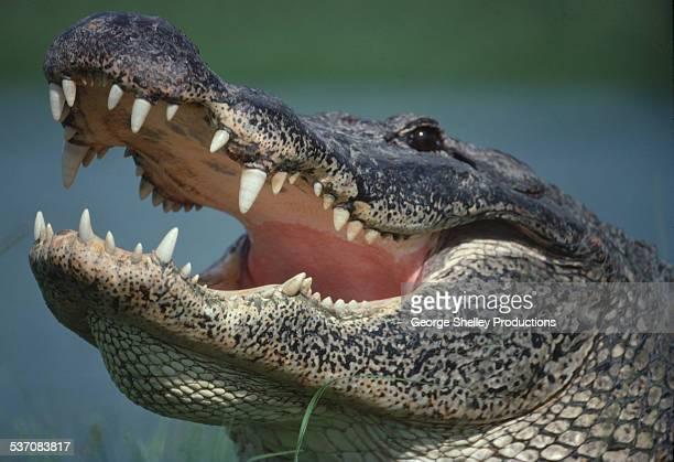Alligator portrait close up