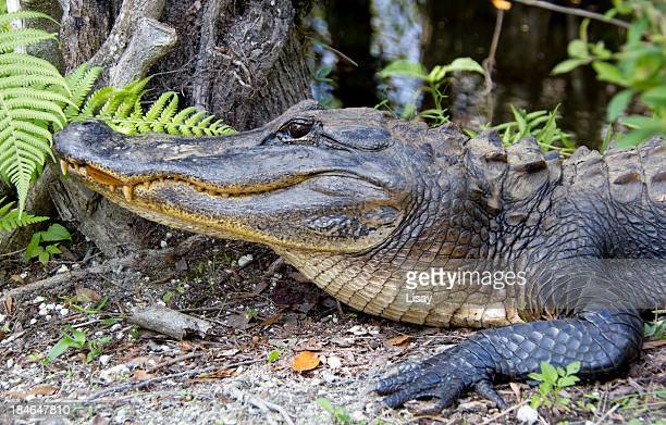 alligator profile - alligator stock pictures, royalty-free photos & images