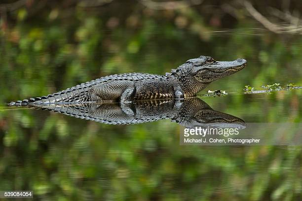 Alligator Reflection