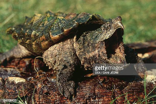 Alligator snapping turtle Chelonidae