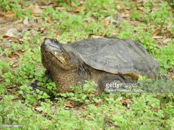 alligator snapping turtle in florida. - snapping turtle stock pictures, royalty-free photos & images