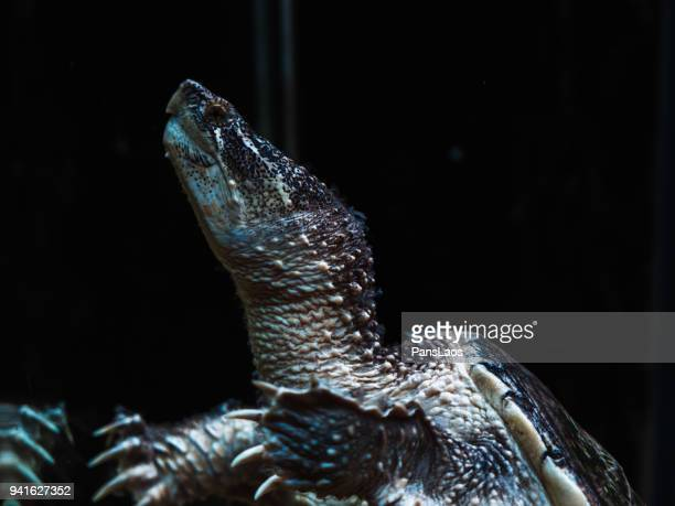 alligator snapping turtle - snapping turtle stock pictures, royalty-free photos & images