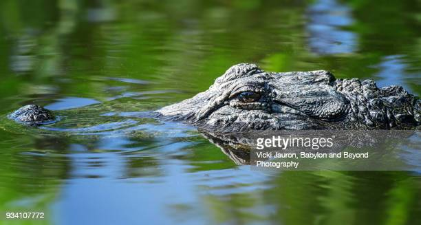 Alligator Snout in Green and Blue Water in Florida