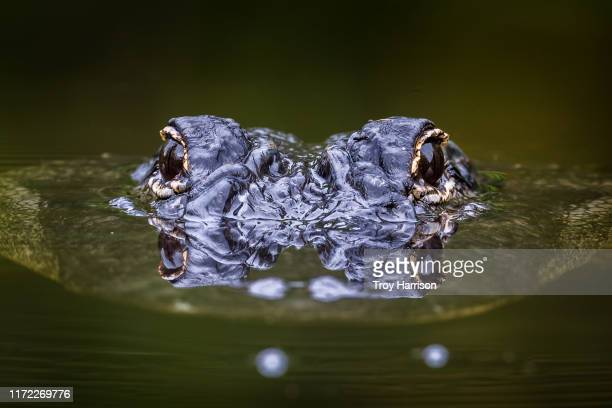 alligator surfacing with eyes reflecting - everglades national park stock pictures, royalty-free photos & images