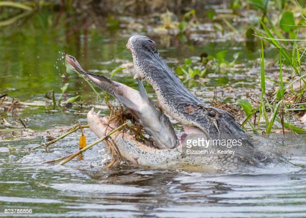 Alligator Swallowing A Whole Fish