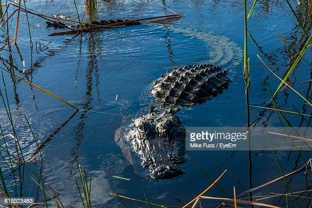 Alligator Swimming In Lake
