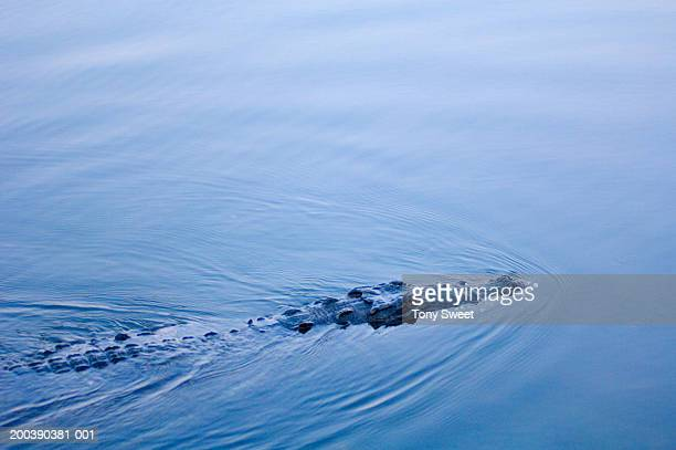 alligator (alligator mississippiensis) swimming - reptile leather stock pictures, royalty-free photos & images
