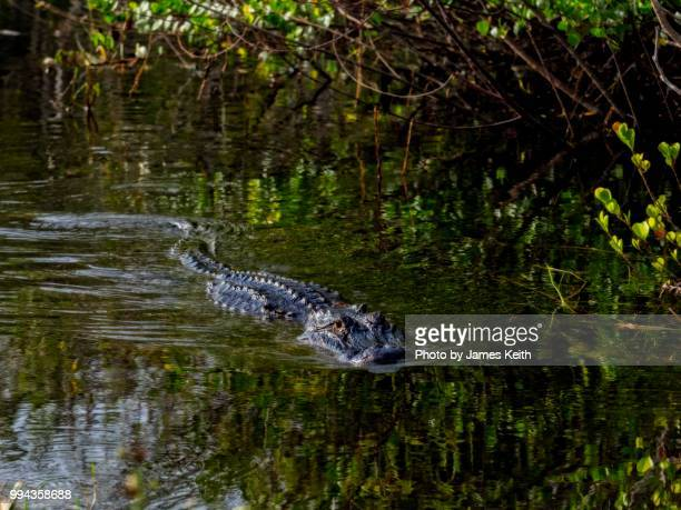 a alligator swims past in shark valley, florida everglades - crocodile stock pictures, royalty-free photos & images