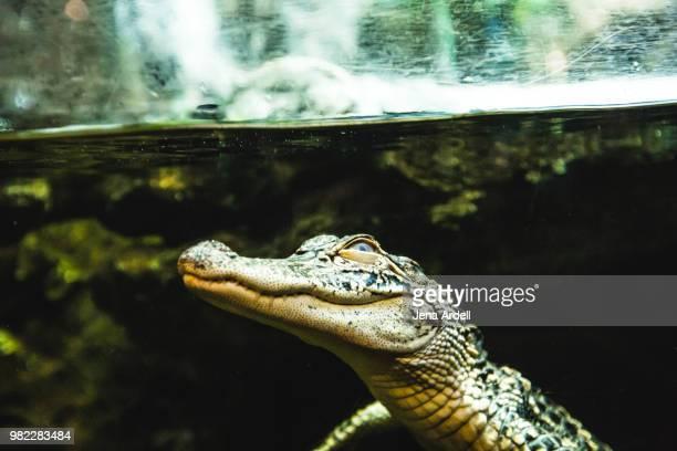 alligator underwater - 一匹 ストックフォトと画像